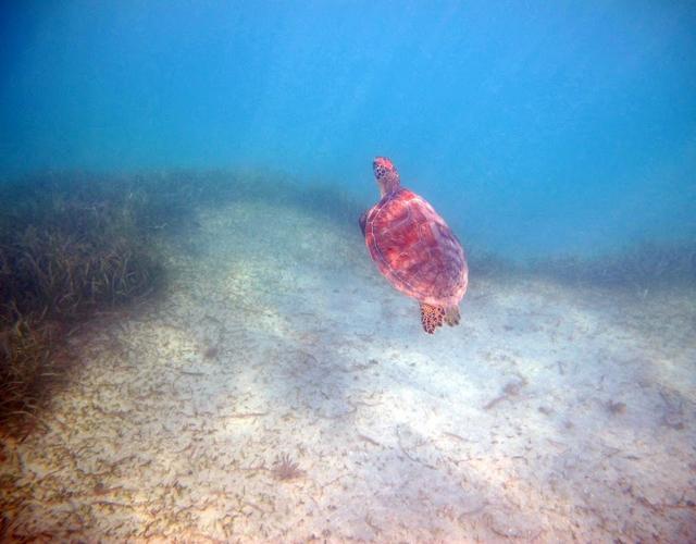 turtle1cynla