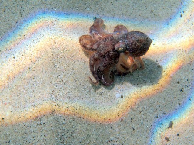 octopusCynla