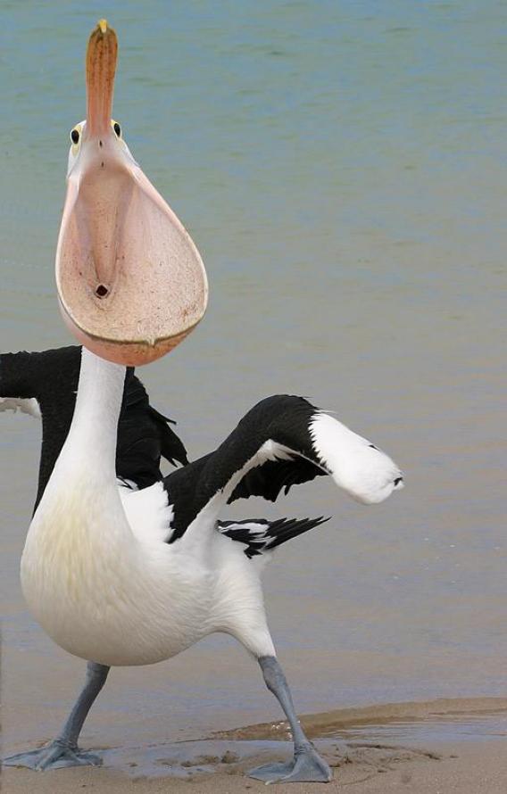 pelicanCynla